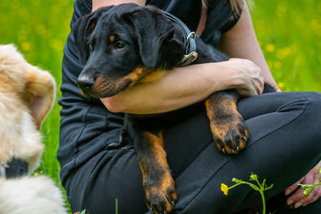 portrait of a young beauceron puppy in the arm