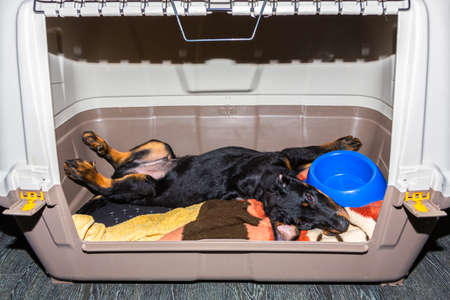 young beauceron puppy relaxing and stretching in its transport box Stock fotó