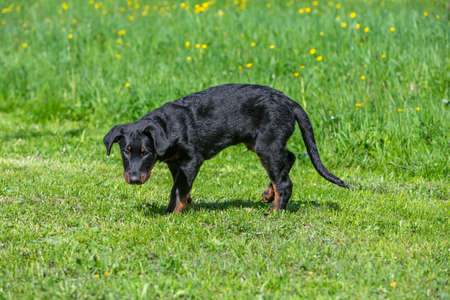 young puppy sniffing in the grass on a sunny day