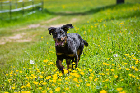 beauceron puppy running through a green meadow on a sunny day