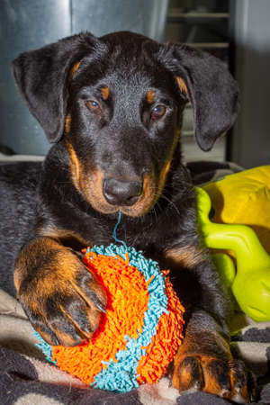 cute beauceron puppy playing with its ball toy Stock fotó