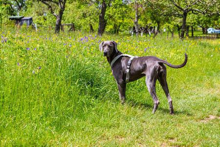 weimaraner pet dog stands beside a green meadow and looks back to owner