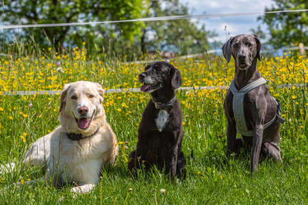 three dogs posing in front of a flowering meadow in sitting position
