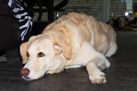 tall white maremmano dog relaxing on the floor Stock fotó
