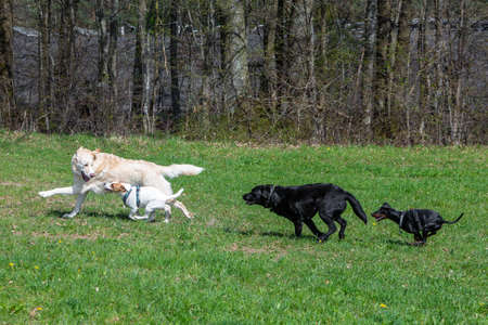 group of dogs running playful on a green meadow and haveing fun Stock fotó