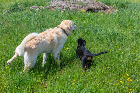 young puppy dog learning from an older dog