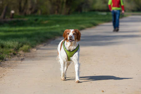 epagneul breton hunting dog walks on a road