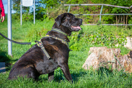 portrait of a cane corso dog sitting in the grass