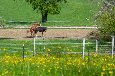 horse breeding on a farm with paddock and meadows