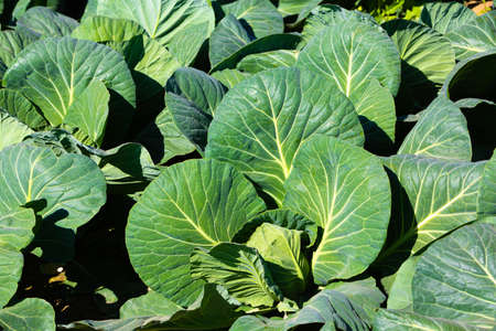 fresh green leafs of cabbage growing on the field