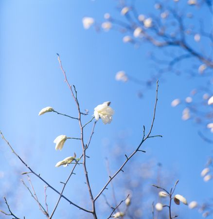 magnolia soulangeana: The branches of tree (magnolia soulangeana) with spring blossoms against blue sky. No sharpening has been applied.