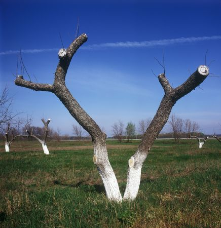 severely: Spring in Ukraine. Fruit trees with branches severely cut back. Stock Photo