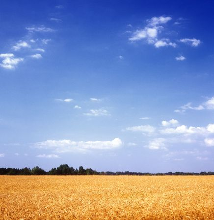 노란색 곡 식 필드와 푸른 하늘입니다. 우크라이나.