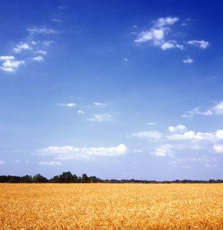 Yellow grain field and blue sky. Ukraine. Stock Photo