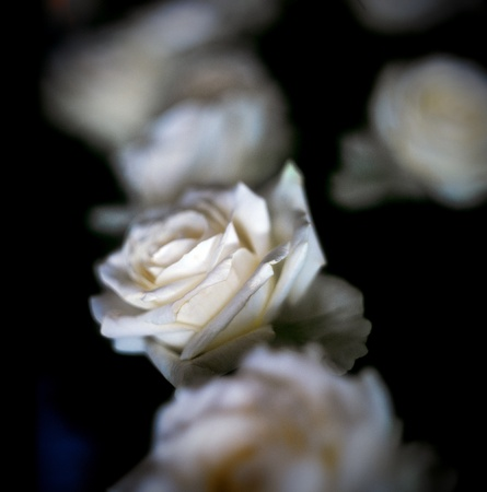 Macro of a white roses Stock Photo - 8409414