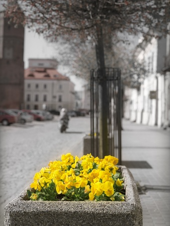Yellow flowers on the street. Pultusk, Poland. Stock Photo