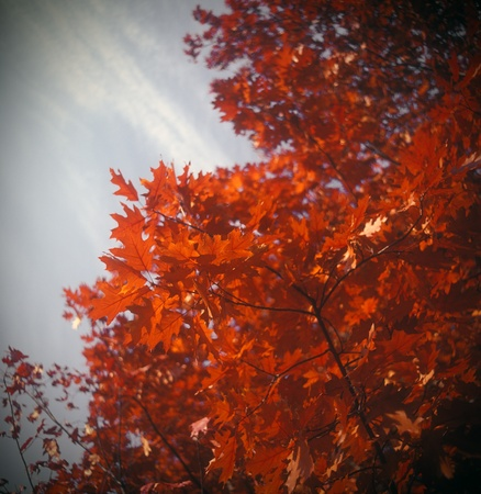 Crimson autumn leaves on a tree branches. High resolution image. photo