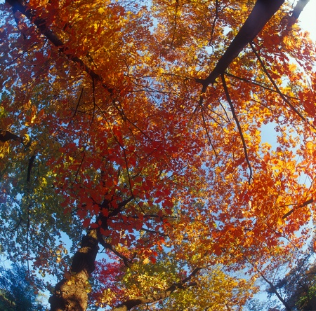 Fall trees against the blue sky. High resolution image.