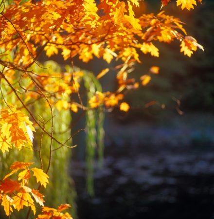 Autumn leaves on a branch with pond in background. High resolution image.