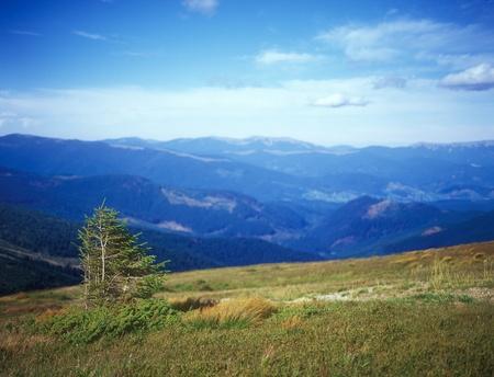 Fir tree in mountains. Selective focus. Carpathian mountain range, Ukraine. Stock Photo - 10491779
