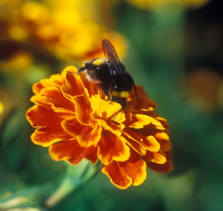 tagetes: Bumble bee (Bombus) on the tagetes (Tagetes patula). Stock Photo