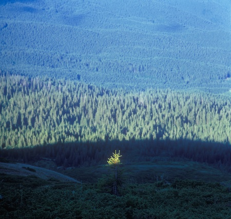 The top of a fir-tree shined with the sun. Selective focus. Carpathian mountain range, Ukraine. Stock Photo - 10597596