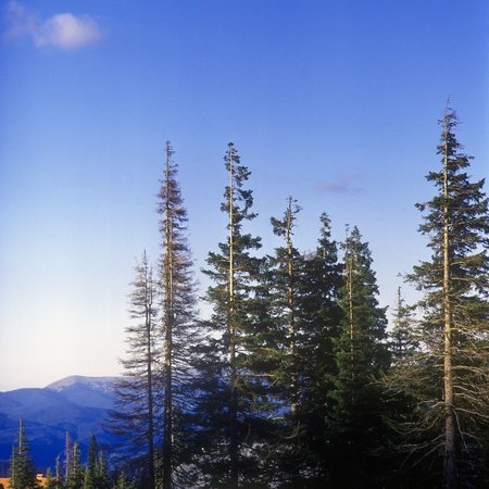 Fir trees in mountains. Carpathian mountain range, Ukraine. Stock Photo - 10702078