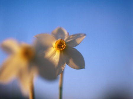 Spring daffodils in the warm light of sunset in Narcissi Valley.  photo