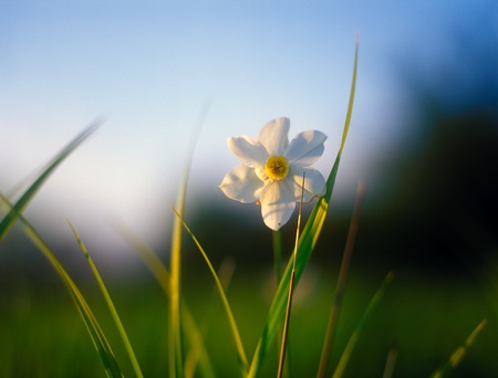 Spring daffodils in the warm light of sunset in Narcissi Valley. Stock Photo - 12008271