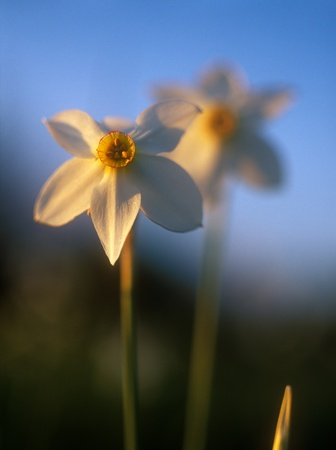 Spring daffodils in the warm light of sunset in Narcissi Valley. Narcissi Valley is located in Ukraine. It is a part of Carpathian Biosphere Reserve. In May the valley is full of beautiful white narrow-leaf narcissi (Narcissus angustifolius). This is the  photo