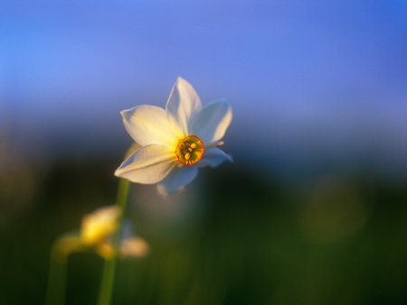 Spring daffodil  photo