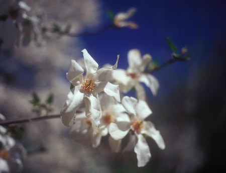 magnolia soulangeana: Flowers of white magnolia soulangeana against the blue sky. Stock Photo