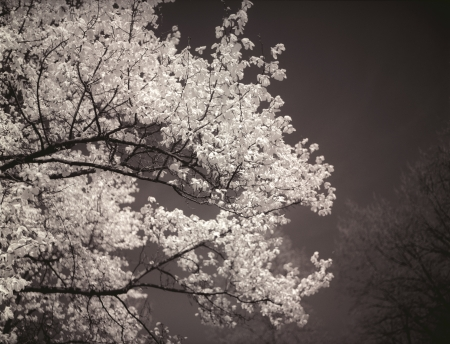 magnolia soulangeana: Magnolia tree (magnolia soulangeana) in bloom. Black and white image. Stock Photo
