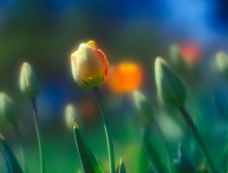 Beautiful spring tulips taken with soft focus lens  photo