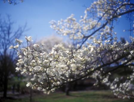 magnolia soulangeana: Branches of white magnolia soulangeana against the blue sky  Stock Photo