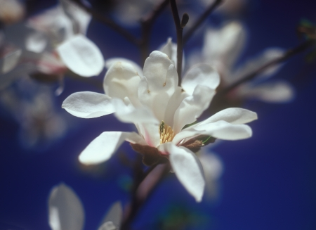 magnolia soulangeana: Flowers of white magnolia soulangeana against the blue sky