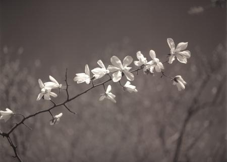magnolia soulangeana: Branch of magnolia tree  magnolia soulangeana  in bloom  Black and white image