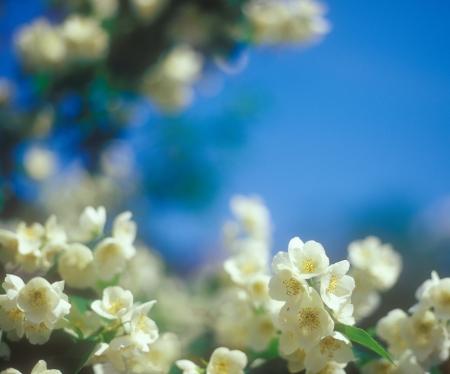 Jasmine blossoms close-up against the blue sky