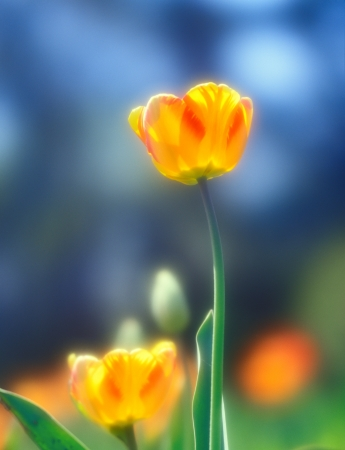 Beautiful spring tulips taken with soft focus lens