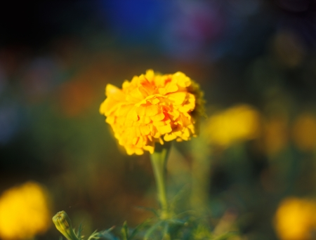 tagetes: Tagetes in the warm light of sunset