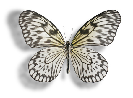 Butterfly  Idea leuconoe, Paper Kite, Rice Paper, or Large Tree Nymph  isolated on white background  Clipping path included