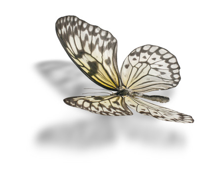 Butterfly (Idea leuconoe, Paper Kite, Rice Paper, or Large Tree Nymph) isolated on white background. Clipping path included. photo