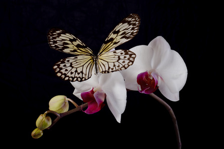 white orchids: Butterfly on a white orchids taken on black background.