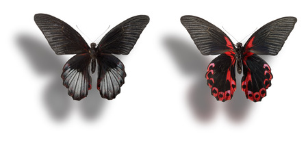 dorsal: Butterfly (Papilio rumanzovia, male) - dorsal view (left) and ventral view (right) isolated on white background. Clipping path included. Stock Photo