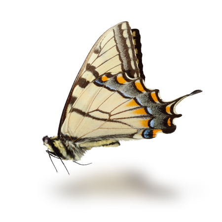 canadensis: Butterfly (Papilio canadensis) isolated on white background. Clipping path included.