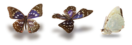 charonda: Butterfly (Sasakia charonda) isolated on white background. Clipping path included.