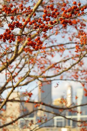 Red rowan berries against a Manhattan skyline.