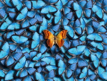 Background from many blue butterflies (Morpho peleides) and one orange butterfly (Charaxes candiope). Imagens
