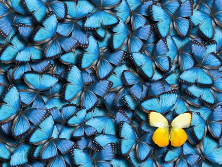 Background from many blue butterflies (Morpho peleides) and one yellow butterfly (Catopsilia scylla). Stock fotó
