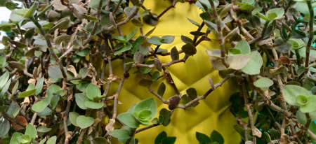 A plant rope with little leaves ad thorns giving birth to life in a yellow hanging pot inside the plant nursery in New Delhi, India
